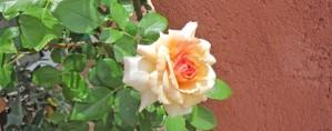 Une rose suffit à provoquer l'étonnement